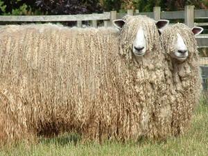 Lincoln sheep breed - find out about this fibre from World of Wool