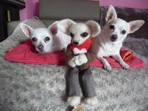 Paquito The Chihuahua
