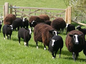 Learn about the Zwartbles sheep in this fibre focus