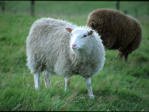 Fibre Focus - the Shetland sheep breed