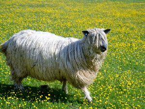 Find out about the Wensleydale sheep breed from World of Wool