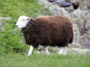 Fibre focus - the Herdwick sheep.