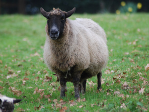 Focus on the Devon sheep breed - World of Wool