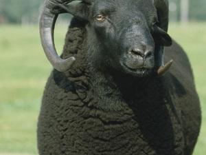 Focus on the Black Welsh sheep fibre