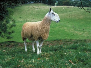 Focus on the Blue Faced Leicester sheep breed