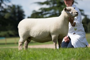 Fibre Focus - the Southdown Sheep - World of Wool