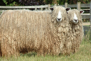Lincoln sheep breed - fibre focus