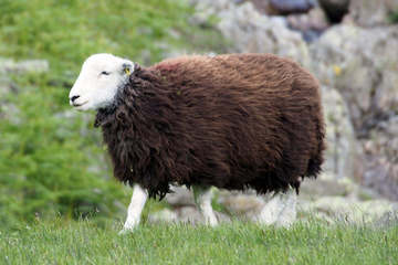 Focus on the Herdwick sheep breed