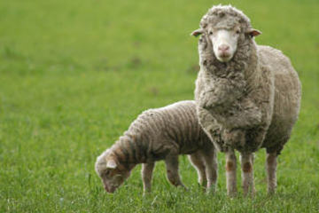 Sheep Breeds And Their Characteristics