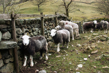 Royal Recognition for Cumbria's Iconic Herdwick Breed