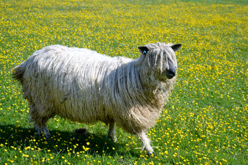 The Wensleydale sheep breed