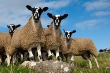 Swaledale sheep breed - fibre focus