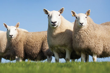 Fibre Focus - Cheviot Sheep