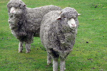 Fibre Focus - Merino Sheep