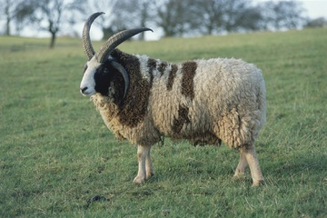 Fibre Focus - The Jacob Sheep