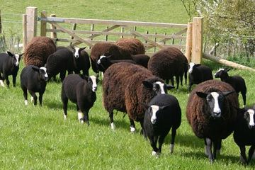 Zwartbles sheep breed - fibre focus