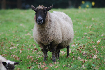 The Devon sheep breed - Fibre Focus