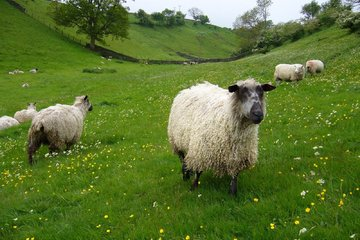 Fibre Focus - Teeswater Sheep