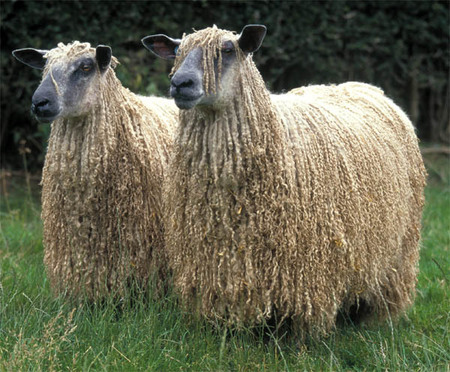 Sheep Breeds And Their Characteristics World Of Wool
